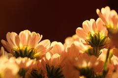 Pink daisy flower against the light stock photography