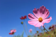 Pink daisy flower. With blue sky Royalty Free Stock Photo