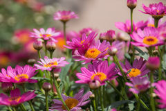 Pink daisy flower bush close up Royalty Free Stock Images