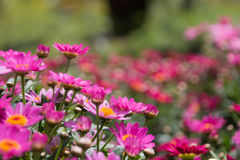 Pink daisy flower bush close up. Outdoors garden Royalty Free Stock Photography