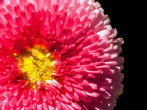Pink daisy head Royalty Free Stock Image