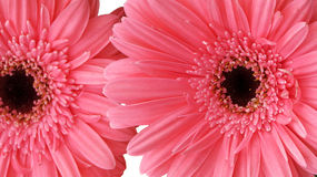 Pink daisy flower. Close up of a beautiful gerbera flower (gerbera, pink, daisy Royalty Free Stock Images