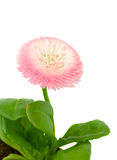 Pink daisy flower Stock Photos