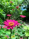 Pink Daisy flower in the garden stock image