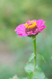 Pink daisy flower on green background Stock Photos