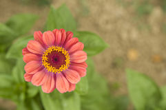 Pink daisy flower in the gren garden Stock Photos