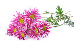 Pink daisy flower. Isolated on white royalty free stock images