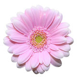 Pink daisy flower isolated on white background Royalty Free Stock Images
