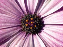 Pink daisy flower macro. Or closeup Stock Photography