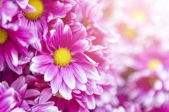 Pink daisy flower with morning flair light background, Royalty Free Stock Photo