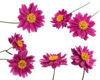 Pink daisy flower set Royalty Free Stock Photos