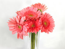 Pink daisy flowers Royalty Free Stock Image