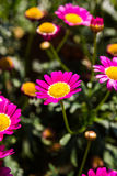 Pink Daisy Flowers Royalty Free Stock Photo