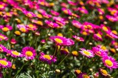 Pink Daisy Flowers Stock Photos