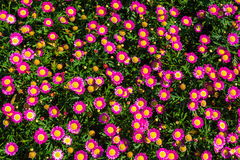 Pink Daisy Flowers Royalty Free Stock Photos