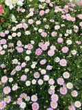 Pink Daisy  Flowers. Blooming white and pink daisy flowers in the garden Royalty Free Stock Photos