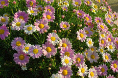 Pink daisy flowers Stock Images