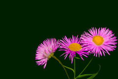 Pink daisy flowers. Close up on a dark green background Royalty Free Stock Image