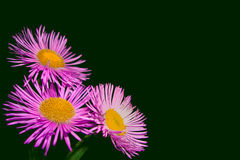 Pink daisy flowers. Close up on a dark green background stock image