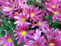 Pink daisy flowers. Closeup of pink daisy flowers in bloom Stock Images