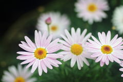 Pink Daisy Flowers. Group of pink daisy flowers in full bloom Stock Image