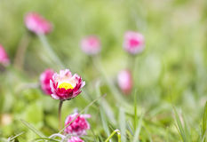 Pink daisy flowers grow in the garden Royalty Free Stock Image