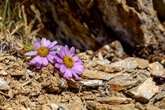 Pink daisy flowers mountains stones Royalty Free Stock Photography