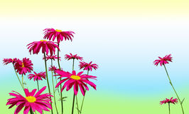 Pink daisy flowers on pastel colors. Sping or summer background: Very bright hot pink daisies on soft pastel green, blue and yellow Royalty Free Stock Image