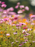 Pink daisy flowers Royalty Free Stock Images