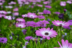 Pink daisy in focus Royalty Free Stock Images