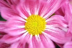 Pink daisy in garden Royalty Free Stock Image