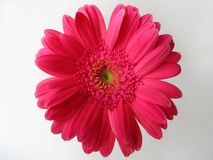 Pink daisy gerber flower top. Top angle shot of pink daisy flower Stock Images