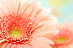 Pink Daisy-gerbera Royalty Free Stock Photography