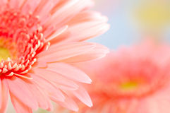 Pink daisy-gerbera. Closeup photo of pink daisy-gerbera Stock Photography
