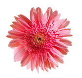 Pink daisy gerbera Royalty Free Stock Images