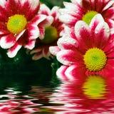 Pink daisy-gerbera Royalty Free Stock Photos