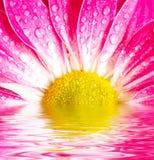 Pink daisy-gerbera Stock Images