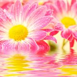 Pink daisy-gerbera Stock Photography
