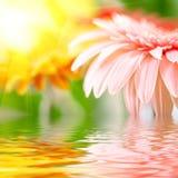 Pink daisy-gerbera Stock Photo