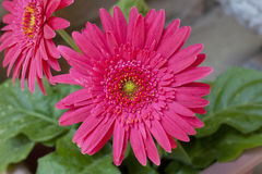 Pink Daisy. Pink Gerbera Daisy flowers in bloom stock photography