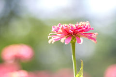 Pink daisy gerbera flowers with blurred background Royalty Free Stock Photos