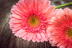 Pink daisy gerbera flowers Royalty Free Stock Photos