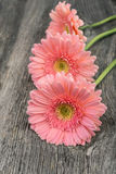 Pink daisy gerbera in  pastel tones Royalty Free Stock Photo