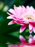 Pink daisy-gerbera with soft focus reflected in th Royalty Free Stock Photography