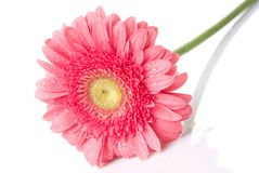 Pink daisy-gerbera with water drops Stock Images