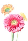 Pink daisy-gerbera with water drops Stock Image
