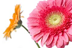 Pink daisy-gerbera with water drops Royalty Free Stock Photography