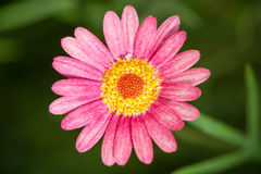 Pink Daisy on green background Royalty Free Stock Image