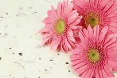 Pink daisy head Stock Images