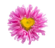 Pink daisy with heart shape. Isolated on white stock photos